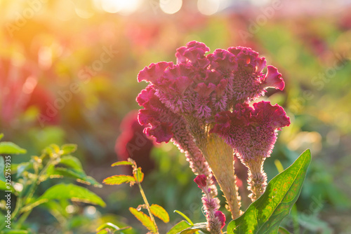 Plumed cockscomb blossom or Celosia argentea in beautiful garden Tablou Canvas