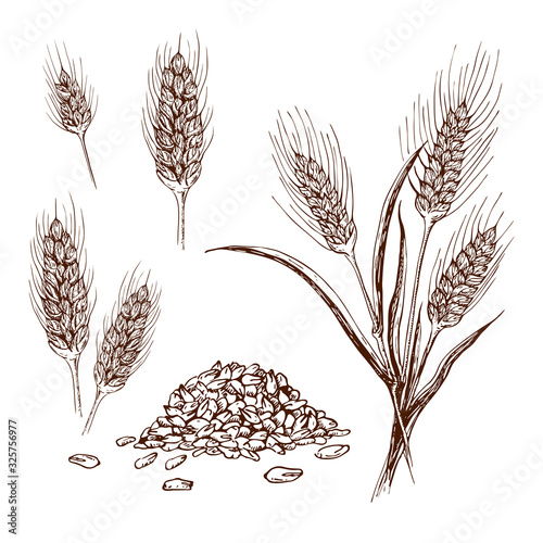Photo hand drawn wheat or barley isolated on white background