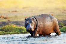 Hippo In The Water In Africa