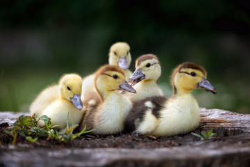 group of ducklings posing outdoors