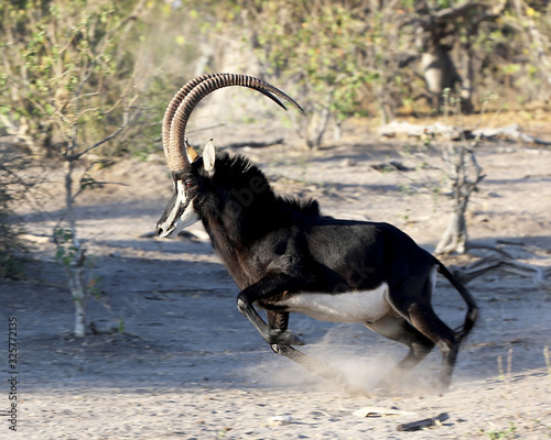 Photo Sable in Africa