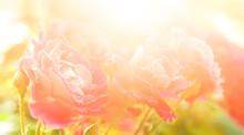 Beautiful Rose Flowers In Garden