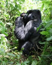 Mountain Gorilla - Sitting And...