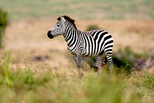 Zebra On The Plains In Tanzani...