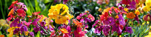 Erysimum Aka Wallflower Flowers Outdoors. Pretty Mauve Flowers Of Perennial Wallflower Plants Genus Erysimum, Or Cheiranthus, Sometimes Called Gillyflower. Panoramic Spring Garden Plants