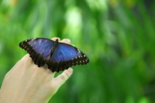 Beautiful Huge Blue Butterfly Papilio Nireus On A Child Hand On Green Forest Background. Tropical, Exotic Insects - Wild Life