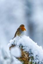 European Robin (Erithacus Rubecula) On Snow Covered Wooden Branch - Selective Focus