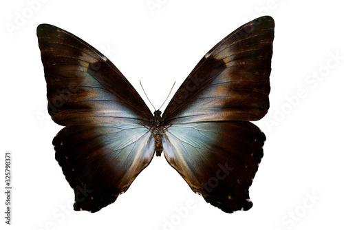 Morpho butterfly Neotropic butterfly Fototapet