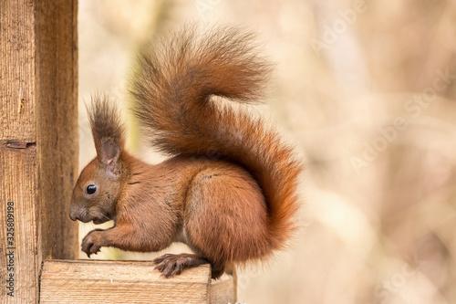 Red squirrel ( Sciurus vulgaris ) Cute arboreal, omnivorous rodent Canvas Print