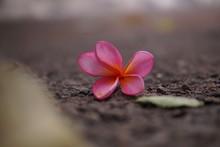 Pink Frangipani Flowers Lying ...