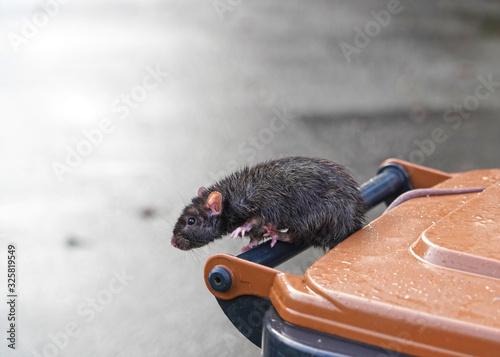 Photo braune Ratte, Rattus norvegicus, hangelt auf dem Griff einer Mülltonne