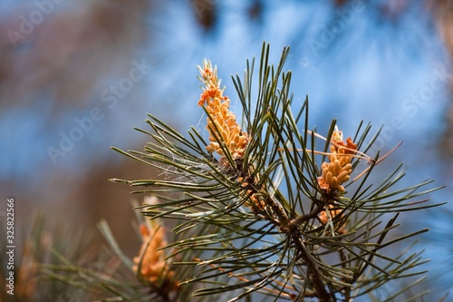 Fotografie, Obraz branch of pine with needles and young cones in inflorescences, soft spring sun,