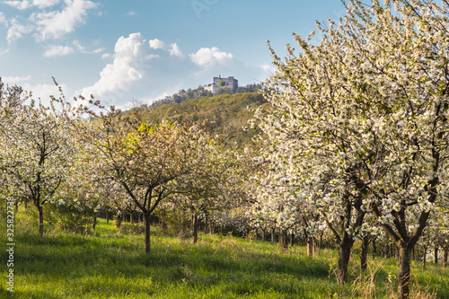 Cuadros en Lienzo Blooming orchard at spring and castle Buchlov at Moravia, Czech Republic