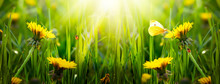 Spring Or Summer Eco Background With Blooming Yellow Dandelions Flowers On Fresh Clean Green Lawn, Butterfly, Red Ladybugs Sitting On Blade Of Grass On A Sunny Day, Wide Panoramic Banner, Sun Rays
