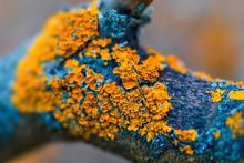 Yellow Lichen On Dry Tree Bran...