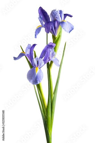 Fototapeta Iris flowers