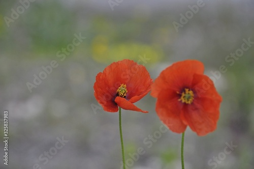 Fototapeta red poppies in a field obraz na płótnie