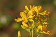 Blüten des Echten Johanniskrauts, Hypericum perforatum, St John's wort.