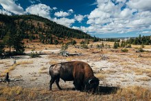 Bison Buffalo Yellowstone Nati...