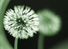 Wet Dandelion Seedhead