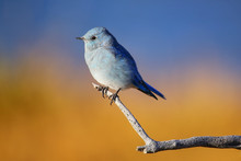 Male Mountain Bluebird Sitting On A Stick