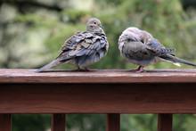 2 Fluffy Mourning Doves, Bashf...