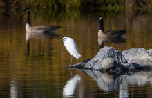 Snowy Egret And Canada Geese