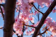 Kawazu-zakura Cherry Blossoms ...