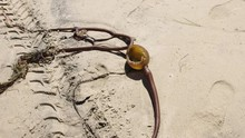 Washed Up Burst Seaweed Bulb D...