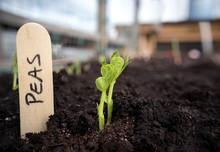 Pea Seedling In Vegetable Bed ...