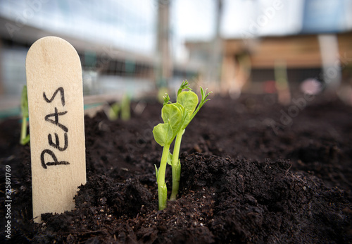 Pea seedling in vegetable bed with wooden name tag. Close up. Rooftop garden. Snow Peas, Sugar Peas or Snap Peas. Early spring planting. Soft bokeh background with netting for plant support.