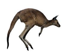 Western Gray Kangaroo Jumping ...