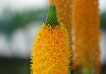 Close Up Of The Beautiful Bright Orange Bulbinella Tropical Flowers