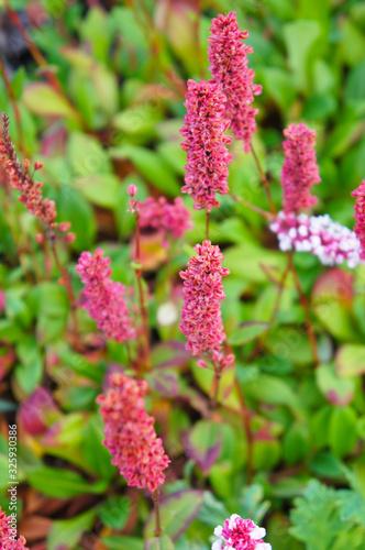 Polygonum affine superba or knotweed red flowers vertcial Wallpaper Mural