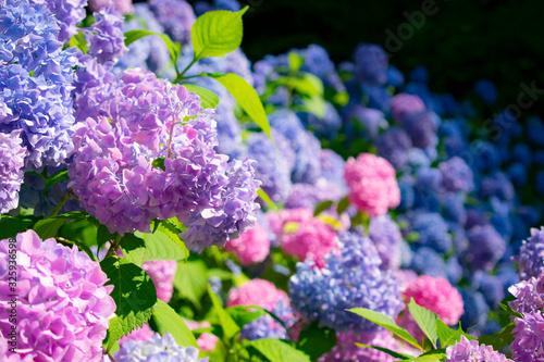 満開の紫陽花 Fototapet