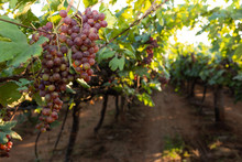Red Globe Grapes In A Vineyard In India