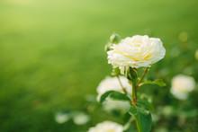 Wonderful White Rose Flower Cl...