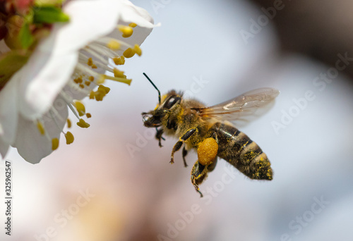 A bee collects honey from a flower Canvas Print