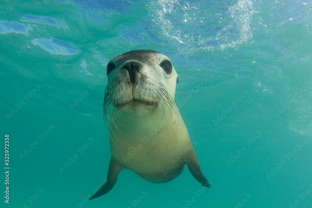Fototapeta Australian Sea Lion underwater portrait photo