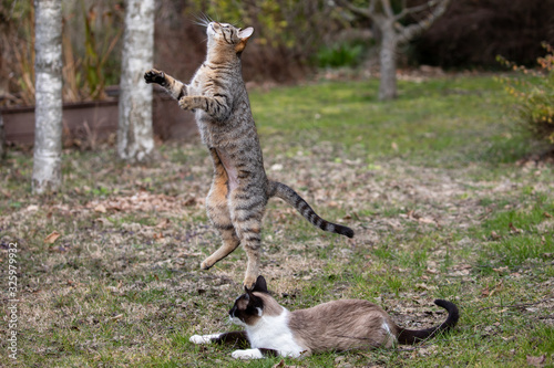 a young grey tiger cat stands on its hind legs under the gaze of its mother Canvas Print