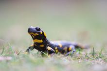 Fire Salamander In Grass