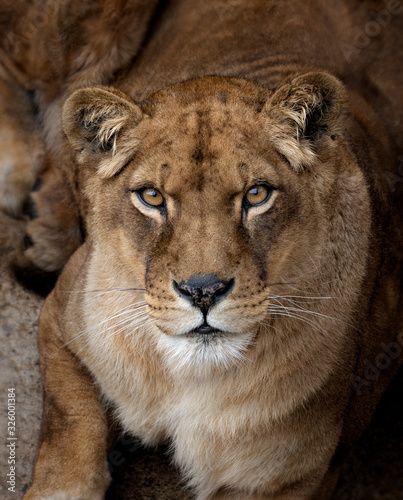 Obraz na plátne Head portrait of a lioness looking at the camera