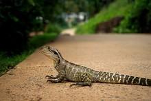 An Australian Water Lizard Sta...