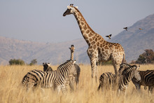 A South African Giraffe Cow With Her Young Calf In An Open Grassland, With Red-billed Oxpeckers Approaching And Surrounded By A Herd Of Zebras, In The South African Bushveld.