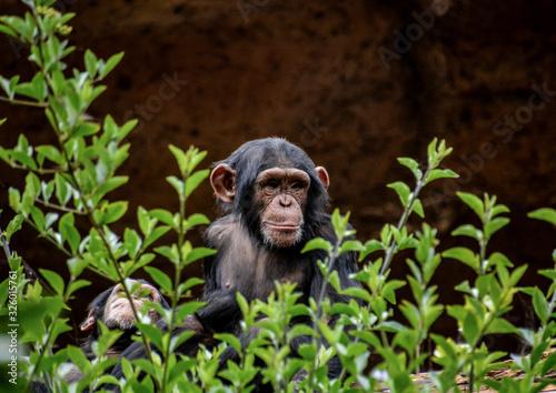 Canvastavla Black Chimpanzee Mammal Ape