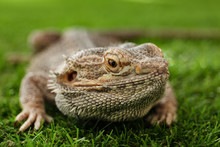 Bearded Lizard (Pogona Barbata...
