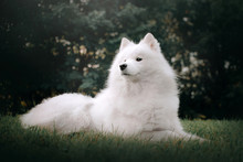 Samoyed Dog Lying Down In Grass Outdoors