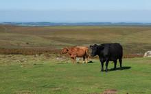 Dartmoor Cattle In Summer