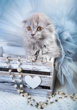 Scottish Fold Highland Fold Kitten Gray Fluffy Cat