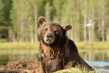 Adult Male Brown Bear Portrait...